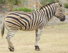 zebra photo | File:Zebra 1.jpg - Wikipedia