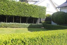 Image result for aUCKLAND GARDENS FICUS TUFFI PLEACHED