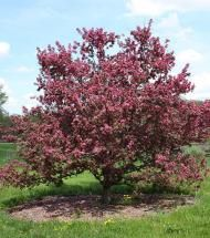 Crabapple/Perfect Purple | Pinelane Nursery Dark purple foliage with attractive pink flowers and small persistent fruit.