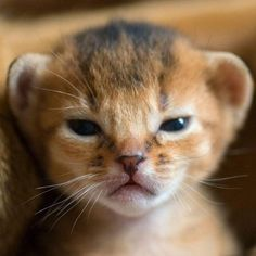 #CATS. A very serious Abyssinian kitten