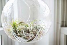 Move over cactus! Dit is de nieuwe it-plant die we allemaal willen in 2017 Terrarium Diy, Best Terrarium Plants, Air Plants Care, Plant Care, Homemade Floor Cleaners, Move Over, Types Of Herbs, Unique Plants, Ponds Backyard