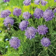 Scabiosa A compact perennial with delicate lacy blue pincushion blooms in summer. Prefers a full sun position, in well drained soil. Remove spent flowers to encourage more flowers, attracts butterflies. Easy to grow, requires very little maintenance.  Grows 60...