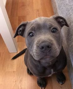 This amazing pitbull puppy will warm your heart. Dogs are amazing companions. Cute Dogs And Puppies, I Love Dogs, Doggies, Puppies Puppies, Cute Pitbull Puppies, Pomeranian Puppy, Cute Little Animals, Cute Funny Animals, Animals Beautiful
