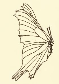 Public domain drawing of a butterfly.