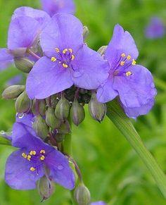 Michigan Wildflower - Spiderwort (Tradescantia ohiensis) - Google Search