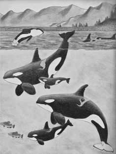 Canadian residents - (orcas, canada, whales, splashing, fun, graphite pencil)