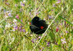 Converging Rays: Red-winged blackbird