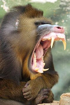 whst a bite this one could deliver Angry Animals, Rare Animals, Animals And Pets, Funny Animals, Tier Fotos, Weird Creatures, African Animals, Animal Photography, Animal Kingdom