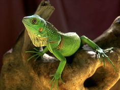 Lizards | NATURE: LIZARDS