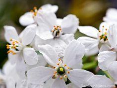 Radiant White Neroli