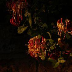 Sunset honeysuckle by I Will Return on Flickr.