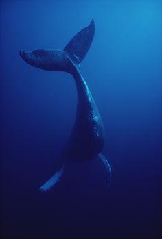 Humpback whale (Megaptera novaeangliae) underwater, Hawaii by Flip Nicklin