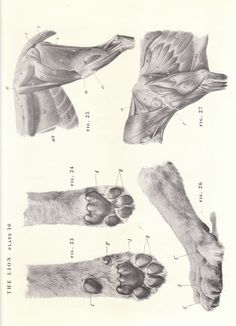 Vintage Lion Paw Shoulder Hind Quarters View by niminsshop on Etsy  Pinned by AnatomyStuff.co.uk