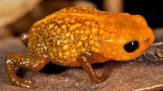 Científicos descubren siete nuevas ranas minúsculas en Brasil