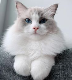 11 Cute Pictures of Ragdoll Cats Best Picture For Dogs and puppies rottweilers For Your Taste You are looking for Ragdoll Cat Breed, Ragdoll Kittens, Cute Cats And Kittens, Kittens Cutest, Cute Cat Breeds, Beautiful Cat Breeds, Beautiful Cats, Funny Cute Cats, Funny Pugs