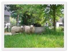 Schafe - Skudden - klein, flitzig, wunderschön