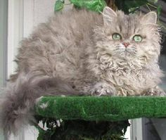 The Selkirk Rex is distinct from all other Rex breeds. Unlike the Devon Rex and Cornish Rex, the hair is of normal length and not partly missing. There are longhair and shorthair varieties. It differs from the LaPerm in that the Selkirk Rex coat is plusher and thicker.