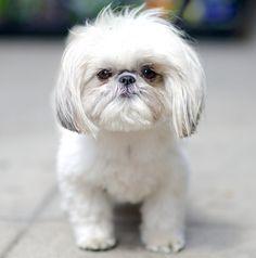 Lola, Shih Tzu. The Dogist by Elias Weiss Friedman l #photography #book #dogsofinstagram
