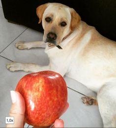 Aumigos já falei que eu adoooroo maçã? ! Hahha é.  Eu adoro!  I love apple!  #Harry #Labrador #Retriever #filhotes #cachorro #dog #Instadog #instaharry #instapet #dogslovers #puppy #pup #doggie #pet #lab #yellowlab #golden #talesofalab #babydog #loveanimals #labragram #laboftheday #worldoflabs #photo #instagram #day #little #adorable #morning #talesofalab #babydog #loveanimals #labragram #laboftheday #worldoflabs #photo #instagram #apple by labradorrharry