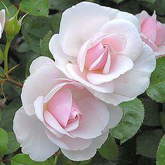 Tige JARDIN DE GRANVILLE® evanrat - Les Roses Anciennes André Eve