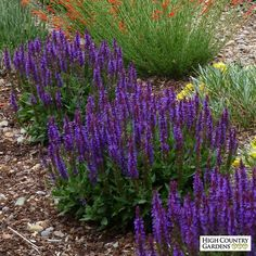 2015 Plant of the Year tall x wide. Salvia sylvestris Little Night is a new, dwarf Meadow sage selected for its tight mounding growth habit and fantastic deep indigo blue flower spikes that cover the plant in late spring and early Perennial Plants, Plants, Deer Resistant Plants, Salvia Plants, Drought Tolerant Plants, Perennials, Country Gardening, High Country Gardens, Salvia