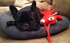 Happy first birthday Otis! French Bulldog Puppy who loves his new lobster.