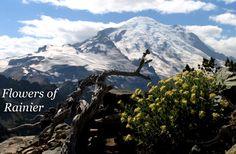 Flowers of Rainier- a guide.