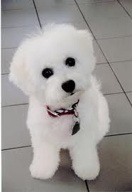My love for the Bichon breed