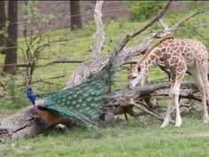 This baby giraffe is killing me it's so cute!