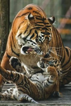 Mother Tiger Giving Her Cub a Warning Snarl. Big Cats, Cats And Kittens, Cute Cats, Siamese Cats, Beautiful Cats, Animals Beautiful, Cute Baby Animals, Animals And Pets, Wild Animals