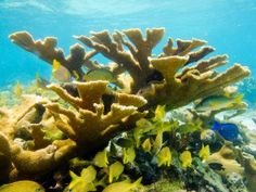 #CoralReefs are healthy and abundant in #Cuba, like this Elkhorn coral (Acropora palmata) which has declined by 95% in the Caribbean - @Nobeltec supports a healthy #Ocean!