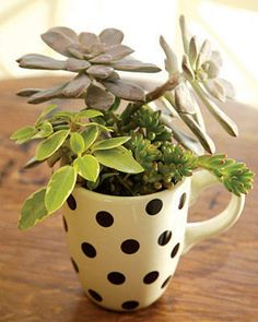 Succulents in a tea cup, and 35 other succulent indoor and outdoor garden ideas!