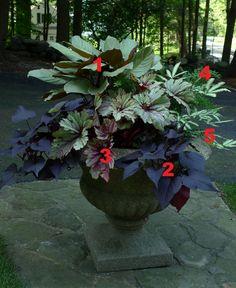 2012 Container Design Challenge Results: Fantastic Foliage | Fine Gardening Cindy Young Brewster, New York  1. 'White Jade' calathea (Calathea 'White Jade', Zone 13) 2. Sweet Georgia™ Purple Heart sweet potato vine (Ipomoea batatas 'Sweet Georgia Purple Heart', Zone 11) 3. 'Raspberry Swirl' Rex begonia (Begonia 'Raspberry Swirl', Zones 12–13) 4. Asparagus fern (Asparagus densiflorus, Zones 9–11) 5. 'Albolineata' Cretan brake fern (Pteris cretica 'Albolineata', Zones 9-11)