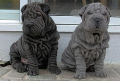 They're so rollie pollie!!! -shar pei puppy