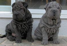 They're so rollie pollie!!! -shar pei puppy