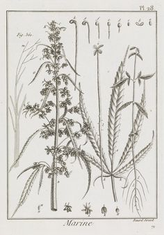 Cannabis comes from the greek kánnabis for hemp, related to Persian kanab and canvas in English. Shown is the flowering plant (♂) as the starting material for rope making, plates from the chapter Marine Diagrams. From: Descriptions des Arts et Mètiers, Académie Royale des Sciences of Paris, 1761-88. Royal Museums Greenwich /       The oldest written record of usage comes from the Greek Historian Herodotus, referring to Scythians taking cannabis steam baths in 440 B.C.