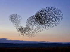 Starlings=This is not science, this is pure art balanced by a mastermind.