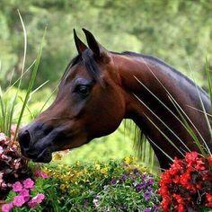 ✿♫Arabian Horse Arabian Horse Show - Western Competition Egyptian Stallion Breeding PIntabians~ Beautiful Arabian Horses, Most Beautiful Horses, Majestic Horse, All The Pretty Horses, Animals Beautiful, Beautiful Flowers, Horses And Dogs, Show Horses, Horse Senior Pictures