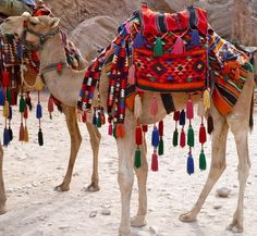 facebook.com/bedouin.life  camel, all decked out