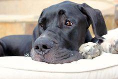 Black Great Dane puppy - Major