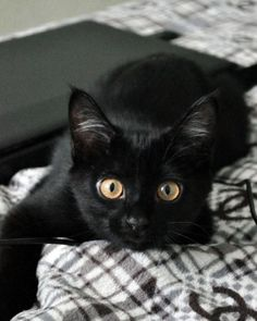 ~ Little Black Cat ~