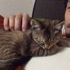 寝る前にケータイとかゲームとかしてると、胸元で寝て早く寝ようアピールしてくるようになったこまちゃん🐈🐾 #おねむ #うとうと #こま #保護猫 #🐈 #猫と暮らす #愛猫 #子猫 #猫  #にゃんすたぐらむ  #きじとら #にゃー  #Koma #cat #kitten  #catslovers #happycat #catstagram #petstagram  #cute #Awesome