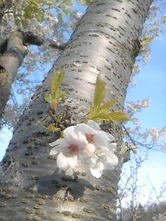22th, April 2015 sakura tree in a sunny day