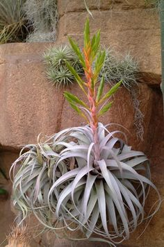 Tillandsia xerographica in bloom growing off one of the rockscape waterfalls.