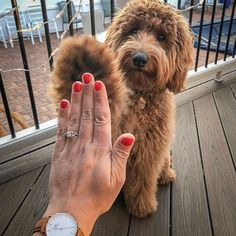 Engagement Pictures Golden doodle high five engagement ring selfie. - From pup-osals to furry flower girls, these adogable ideas would make even the coldest of hearts want to double tap. Dog Engagement Photos, Engagement Announcement Photos, Engagement Shoots, Wedding Engagement, Engagement Rings, Engagement Annoucement, Engagement Ideas, Goldendoodle, Dream Wedding