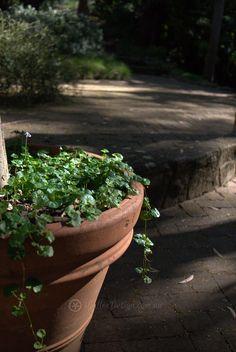Natives for Pots and Containers 3 - Mallee Design Australian Garden Design, Native Australians, Native Plants, Habitats, Landscape Design, Nativity, Wildlife, Deco, Architecture