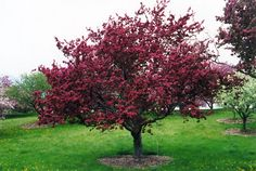 Find Profusion Flowering Crab (Malus 'Profusion') in Brainerd Baxter Little Falls Aitkin Nisswa Mille Minnesota MN at Landsburg Landscape Nursery (Roseybloom, Crabapple) Artistic Tree, Landscape Nursery, Commercial Landscaping, Pomes, Deciduous Trees, Flowering Trees, Low Maintenance Garden, Red Tree, Types Of Soil