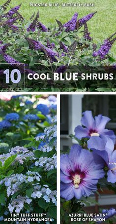 10 Cool Blue Shrubs Blue is beautiful! It's also not quite as rare in the garden as some people migh Blue Hydrangea, Blue Flowers, Blue Plants, Large Plants, Blue Garden, Garden Fun, Dwarf Plants, Orange Brick, Gardens