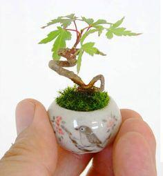Tiny Maple Bonsai