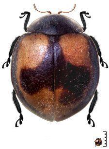 Poria_circumflexa - Venezuela - Coccinellidae